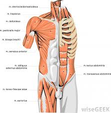 Muscles of the Upper Torso